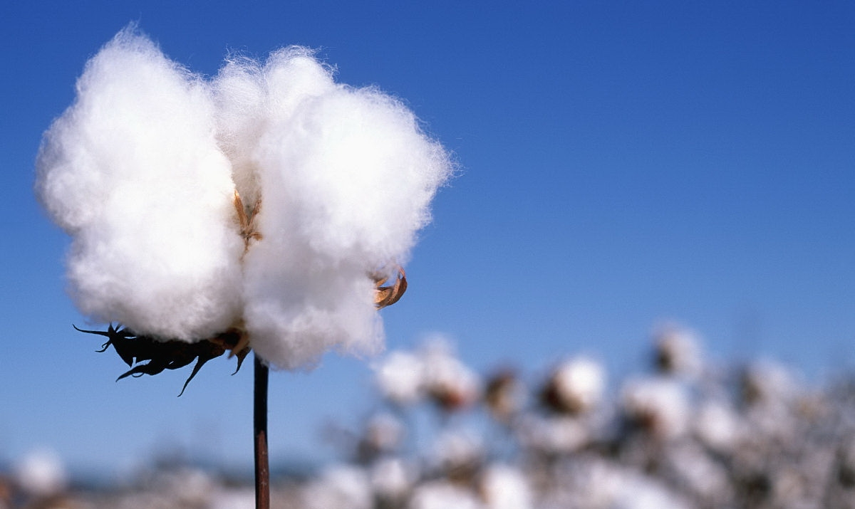 Chinese cotton imports to recover than expected this season